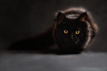 แมวไทยมงคล